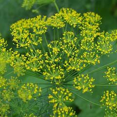 evergreen, flower, yellow, herb, anthriscus,