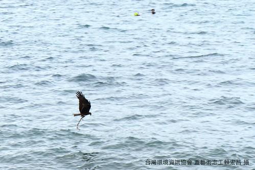 黑鳶誤捕廢棄繩索,讓目睹一切的淨灘志工緊張了一下,幸好後來黑鳶發現那不是食物,但也讓在場的人們都體認到,海邊的廢棄物真的會影響野生動物的生存。攝影:賴宏昌