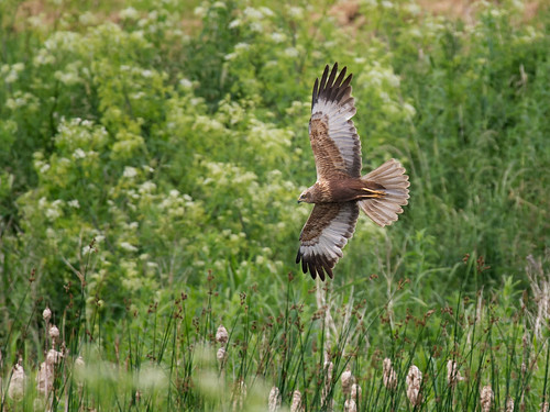 Marsh Harrier hunting_2