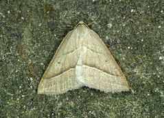 1902 Brown Silver-line - Petrophora chlorosata