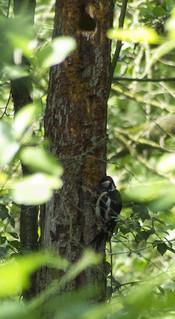De grote bonte specht haalt insecen uit een dode boom