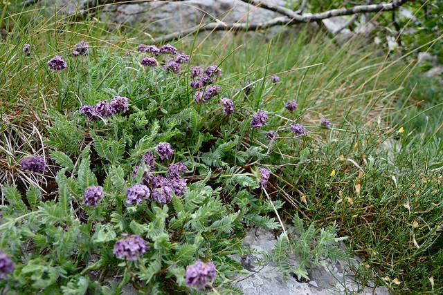 Anthyllis montana L. - vulnéraire des montagnes, anthyllide des montagnes 14464970973_3ec474cc42_z