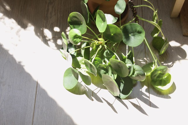 pilea in the sun