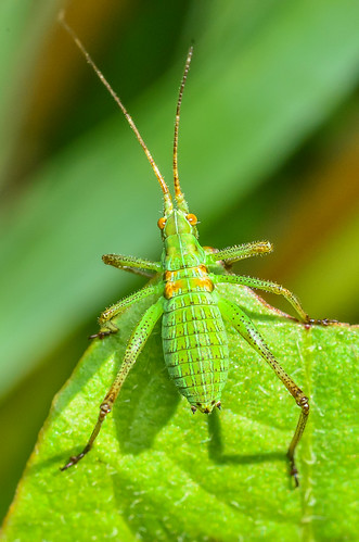 <p><i>Scudderia</i> sp., Tettigoniidae<br /> Ferry Point Landing, Alberta, Canada<br /> Nikon D5100, 105 mm f/2.8<br /> June 21, 2014</p>