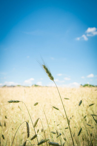Weizenähre / Wheat Ear