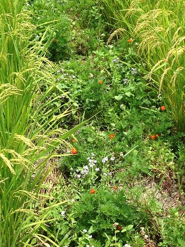 田埂上,菊科的紫花霍香薊、孔雀草綻放。