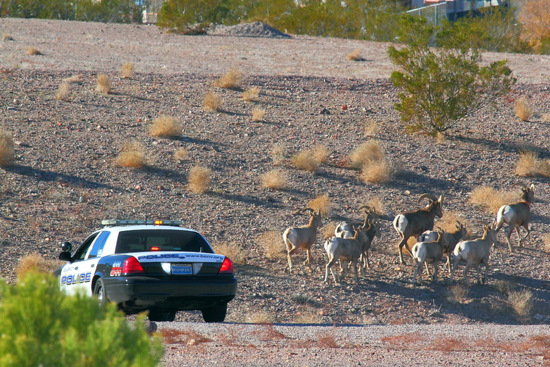 "IMG_1308 Police ""Herding"" Bighorn Sheep away from US-93"