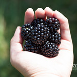 Post image for Blackberry picking {photos} + Picture Practice