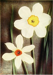 "Image from page 63 of ""Daffodils. With eight colored plates"" (1910)"
