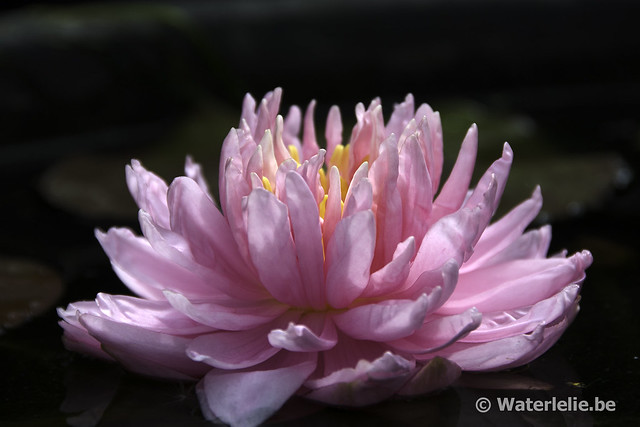 Waterlelie Lily Pons / Nymphaea Lily Pons