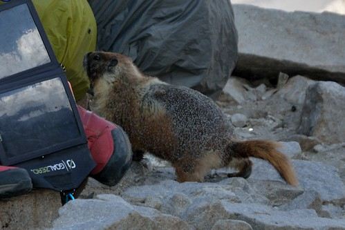 Marmot Attempting Food Theft