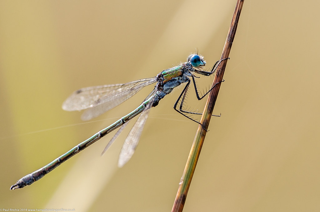 Scarce Emerald (Lestes dryas) - male