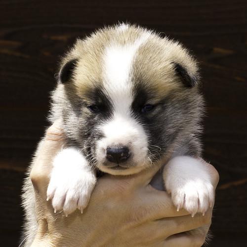 Anya-Litter1-20Days-Puppy7(Male)a