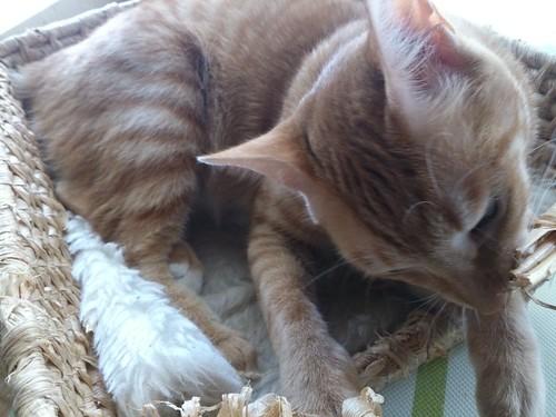 ベッド代わりの籠を壊す猫たち