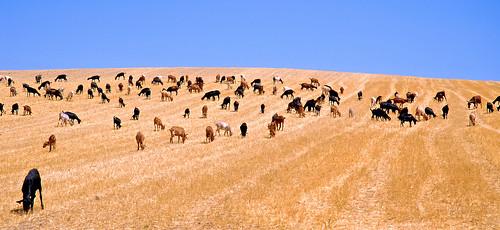 Cabras de Granada