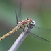 Darter dragonfly in the garden #2