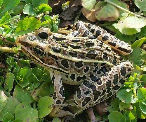 Leopard frog (Rana pipiens), Wetlands Preserve Park, Freeport, IL