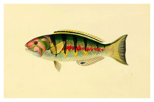 008- Saparus Hardwicke-A selection … the fishes …of Ceylon-1834 John B. Whitchurch
