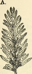 """Image from page 378 of """"The structure and development of mosses and ferns (Archegoniatae)"""" (1918)"""