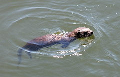 IMG_5523 River Otter kit - Lontra canadensis