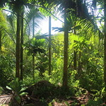 Pohnpei agroforest: betel nut and coconut