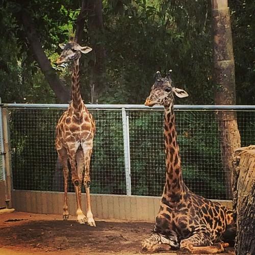 #giraffe #sandiego #zoo #kategoestocalifornia