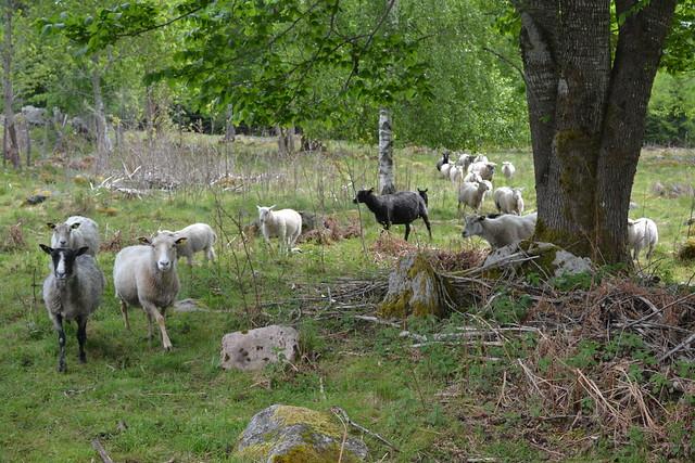 sheepsrun