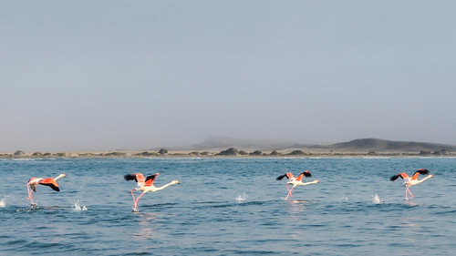 Flamingos running on the water surface at Diaz Point, Namibia
