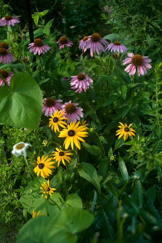 DSC_9393 echinacea and rudbeckia