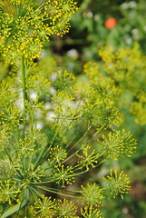 evergreen(0.0), cow parsley(0.0), common rue(0.0), mustard(0.0), subshrub(0.0), anthriscus(0.0), apiales(1.0), shrub(1.0), flower(1.0), plant(1.0), herb(1.0), wildflower(1.0), flora(1.0), produce(1.0),