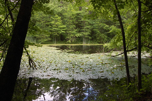 Lily Pond in the Forest - 2