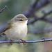 Felosa de Bonelli - Phylloscopus bonelli - Western Bonelli's Warbler