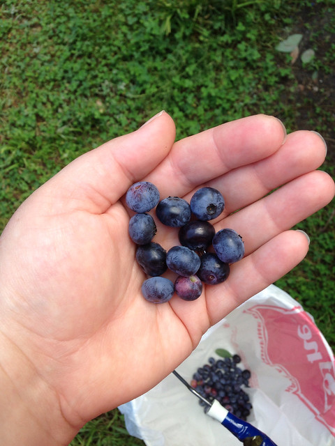 Blueberry pickin' in Wells, ME.