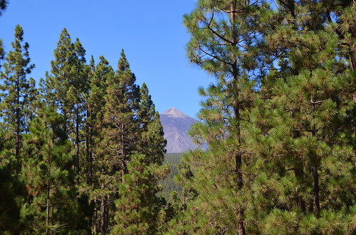 Mount Teide and pine trees, Orotava Valley, Tenerife