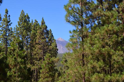 Mount Teide and pine trees, Orotava Valley, Tenerife