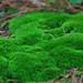 Moss - (Bryophyta)