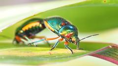 Green jewel bugs.