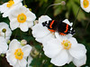 Red Admiral on Anenomes