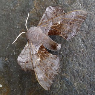 Poplar Hawkmoth. Laothoe populi