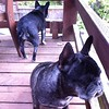 French bulldogs on cat and squirrel patrol in Eugene, OR.