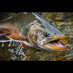 "@simmsfishing with a great blog post titled ""Bristol Bay vs. Pebble Mine - Are We Headed Toward The Conservation Victory Of Our Lifetime?"" By Scott Hed. Read it on www.wadingroom.com #savebristolbay #flyfishing #nopebblemine #alaska #alaskaflyfishing #bri"