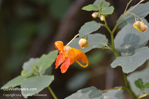 Spotted jewelweed - Impatiens capensis