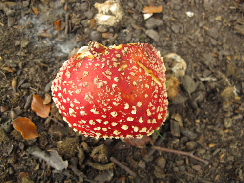 Fly Agaric Amanita muscaria var. muscaria