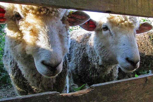 Cotswold Sheep at Hope Hill Farm, Saltspring Island, Gulf Islands, British Columbia