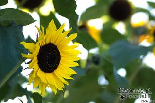 Sonnenblume | Projekt 365 | Tag 269
