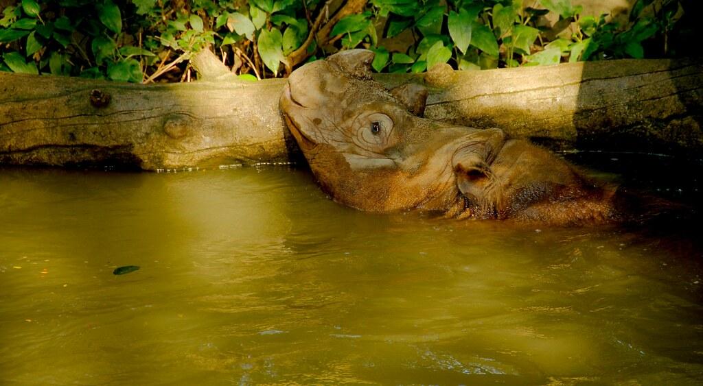 Sumatran Rhinoceros (Dicerorhinus sumatrensis)_18
