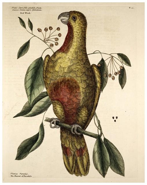 002-Loro del paraiso cubano-Natural History of Carolina, Florida and the Bahama Islands-Vol1-1754