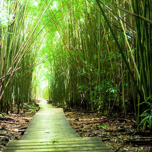 light sunlight color leaves forest hawaii nationalpark nikon hiking maui bamboo trail haleakala jungle bambooforest haleakalanationalpark hawaiianislands d90 outdoorphotography tamron1750 pīpīwaitrail