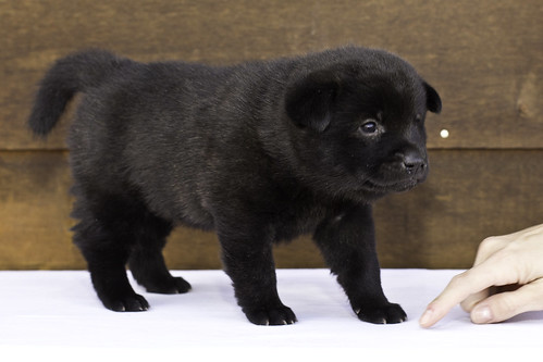 Nori-Litter2-30Days-Puppy3(female)c