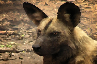 African Wild Dog close up